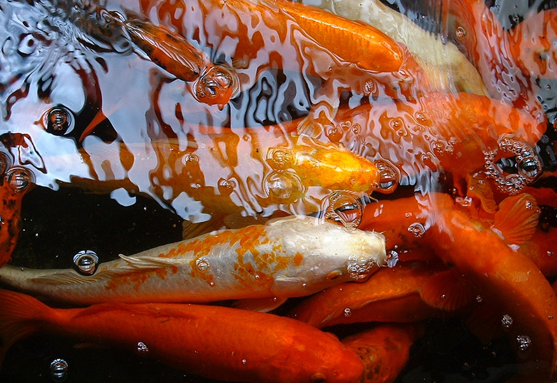 Koi health and pond care for Large koi fish