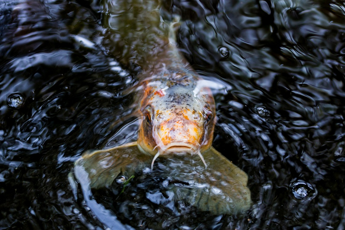Water quality koi health and pond care for Koi company