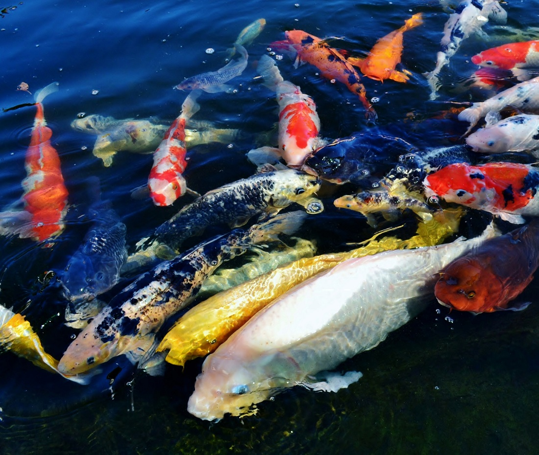 Koi health and pond care for Large coy fish