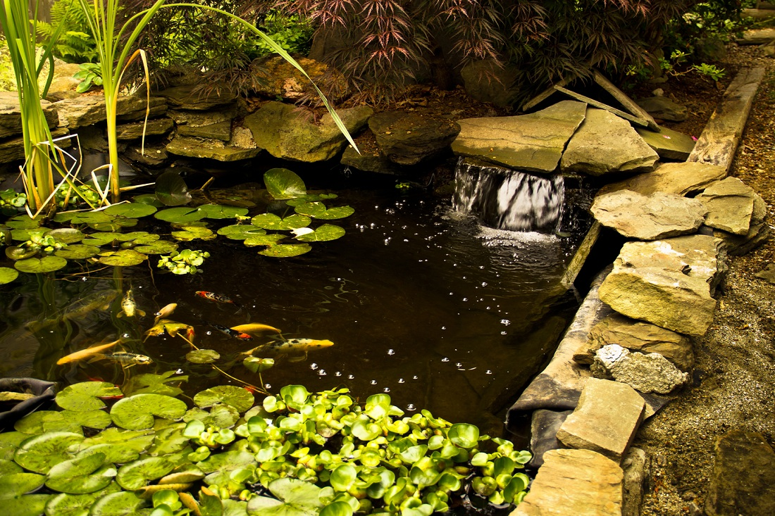 Koi health and pond care for Koi pond maintenance service