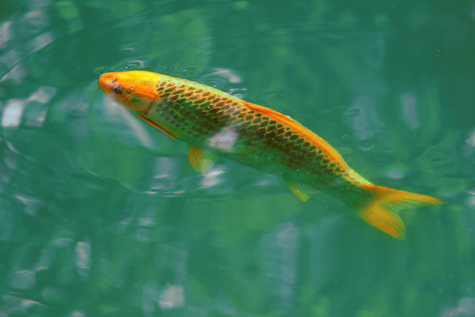 White spot ich koi health and pond care for Large koi carp