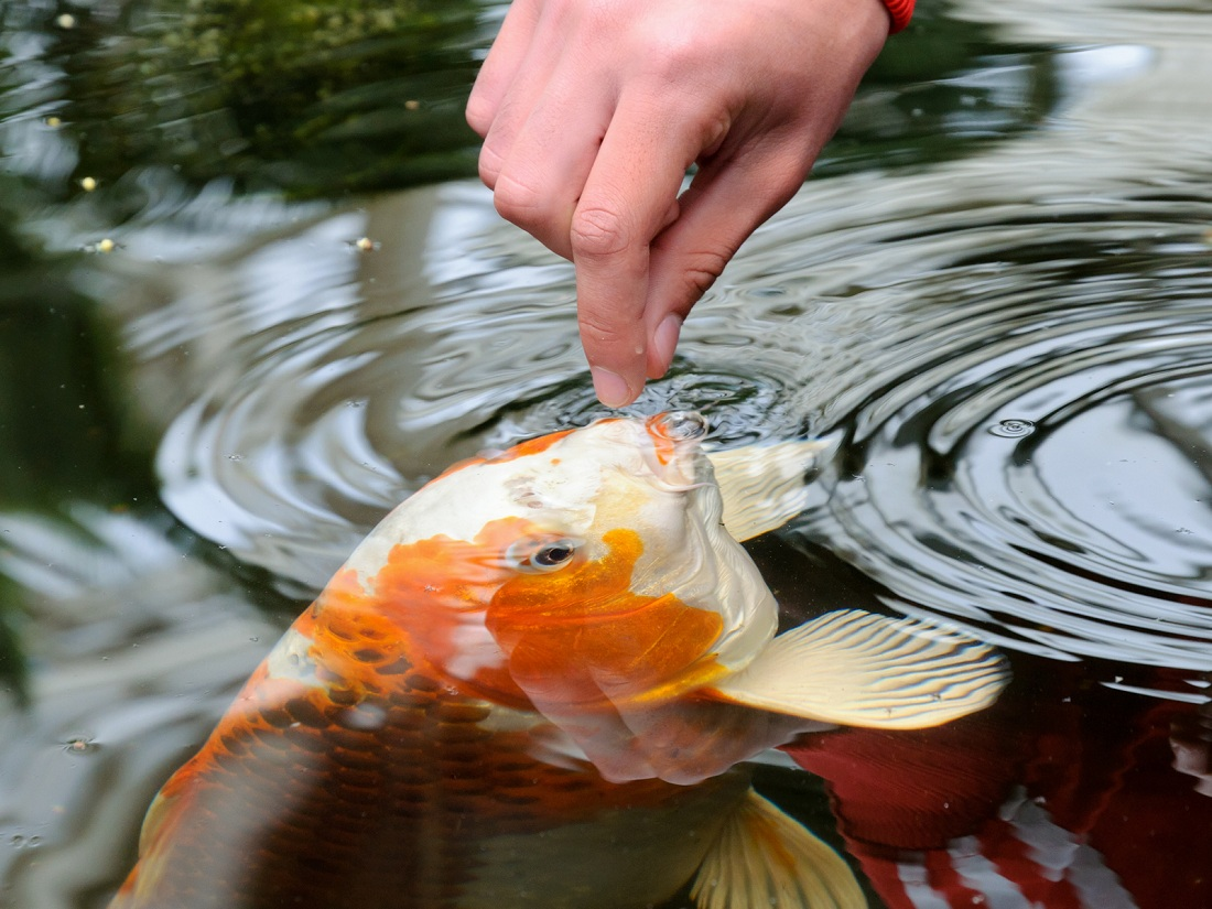 Water quality koi health and pond care for Koi pond upkeep