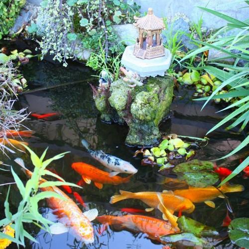 bigstock-Koi-Fish-Garden-10666025